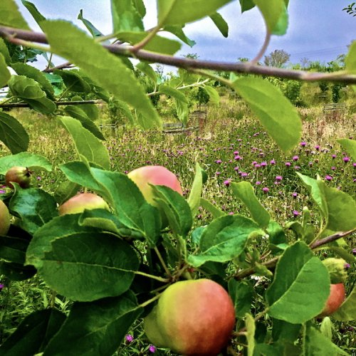 Orchard planted 2015 and summer meadow.