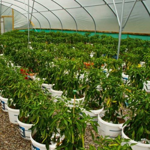 Mature chilli plants in big polytunnel.