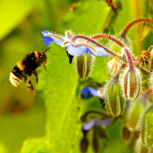 Foraging Bumble Bee on Borage in the herb tunnel.