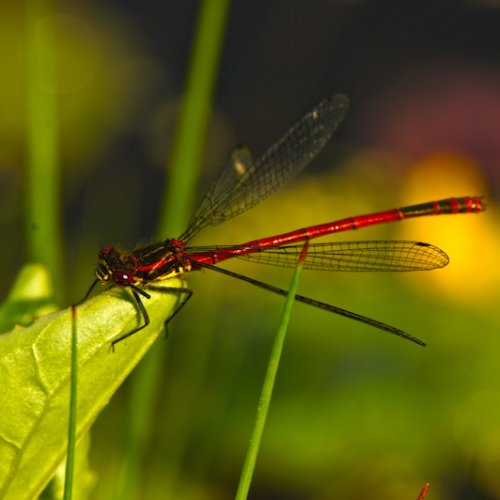 Damselfly on wildlife pond plant