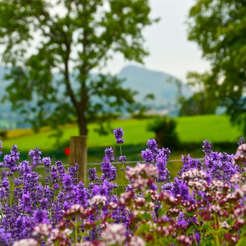 View towards Dumgoyne with lavendar in foreground.