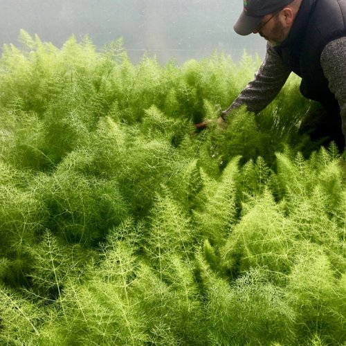 Tending the young Fennel early on in the season.  These plants grow to over 6' later in the summer.