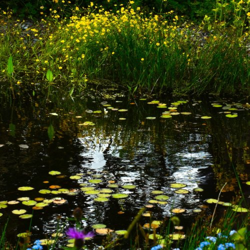 This is our small wildlife pond absolutely teaming with a wide range of bugs and plants.