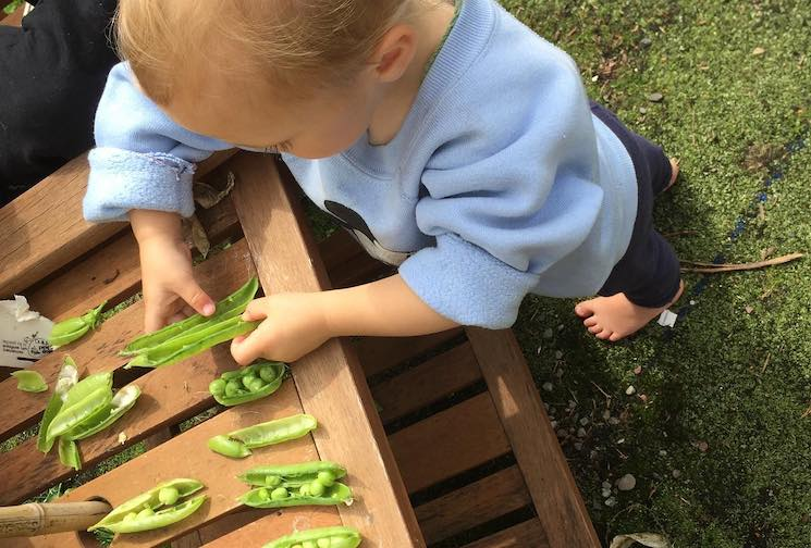 young person examining pea pods